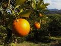 橙(だいだい)広島県産 農薬肥料不使用 1個