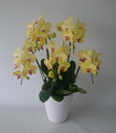 爽やか 黄色胡蝶蘭 フーラーサンセット 5本立
