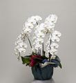 白大輪胡蝶蘭5本立 高級品