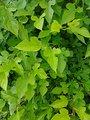 桑の葉茶 マルベリー 40g 自然栽培 完全無農薬 無施肥 【国産 安曇野産 100%】