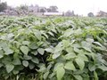 1k 大豆 自然栽培 無農薬 無施肥