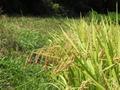 無農薬無化学肥料 コシヒカリ 精米 1kg