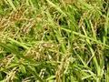 無農薬無化学肥料 もち米(まんげつもち)精米 1kg