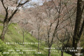 春の吉野 桜 シロヤマサクラ 中千本 2010年 4/6