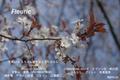春の吉野 桜 シロヤマサクラ 2010年 4/6