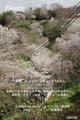 春の吉野 桜 シロヤマサクラ 上千本 2010年 4/6