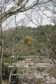 春の吉野 桜 シロヤマサクラ ヤドリギ 上千本 2010年 4/6