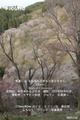 春の吉野 桜 シロヤマサクラ 上千本