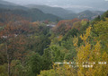 2009年 晩秋の吉野 櫻と紅葉 上千本  NO 075 A3ノビ プリント  329mmx483mmm