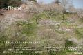 春の吉野  桜 A3 のび プリント 1