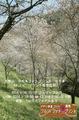 春の吉野 桜 シロヤマサクラ 中千本