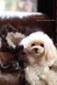 Le Lit mini(レリットミニ)♪☆Milk Chodolate Bear(ミルクショコラベアー)☆