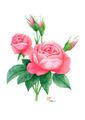 ピンク薔薇イラストはがきセット
