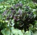 生花秋色紫紫陽花