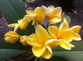 【ラスト1鉢】フロリダ産のプルメリア 'Canary' 3.5号接木苗(カナリアイエローの美しい花を咲かせる銘花品種)