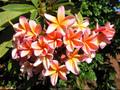 【ラスト1鉢】2018新品種・美しいオレンジ花の米国系プルメリア 'Pukalani' 接木苗3.5号鉢