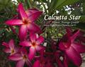 【1鉢限定】インド生まれの星咲きプルメリア 'Calcutta Star' 苗木・ワンサイズ上の5号サイズ