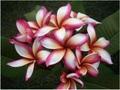 【1鉢限定】人気のレインボー系プルメリア 'Saree 5' 苗木・ワンサイズ上の5号サイズ