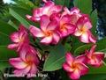 【1鉢限定】美しいグラデーション咲きの名花プルメリア 'Rim Fire 4304'' 苗木・ワンサイズ上の5号サイズ