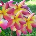 【特別SALE・通常価格の20%オフ】鉢植えプルメリア 'Kaneohe Sunrise' 苗木(4号鉢)