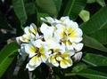 鉢植えプルメリア 'Bali Whirl' 接木苗(越冬株・5号鉢)