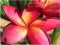 【1鉢限定】ハワイ生まれの名花巨大輪プルメリア 'Jean Moragne' 苗木・大きめの5号サイズ