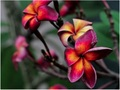 【農園での引取り限定】限定1鉢・世界的にの超希少なバリ島の名花プルメリア 'Jamaica Fire' 接ぎ木苗(13号鉢)・1鉢限定です
