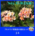 【1鉢限定】人気のブーケ咲き品種・鉢植えプルメリア 'J-4' 接木苗(越冬株・4号鉢)