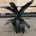 【希少種】1鉢限定・漆黒の葉が美しいティーリーフの木 Ti Plant 'Black Pride'  5号ロングスリット鉢(黒葉品種)