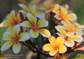 【1鉢限定】プルメリア 'SJ Oriental Yellow' 接木苗(越冬株・4号鉢) 希少品種