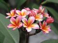 1鉢限定・鉢植えプルメリア 'Petite Rainbow' 接木苗(越冬株・4号鉢)
