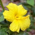 【ハワイ固有種】ハワイの原種ハイビスカス Blackenridgei 4号スリットポット苗