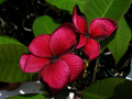 【1鉢限定】黒スジが個性的な大人色の赤花プルメリア 'Black Tiger' 苗木・ワンサイズ上の5号サイズ