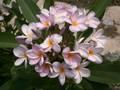 【1鉢限定】美しい花を咲かせるプルメリア 'Fah Pra Tarn' 4号鉢