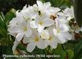 【4月下旬以降発送】本年初リリース! 強い香りを放つ希少なキューバの原種系常緑品種のプルメリア 'Cubensis' 接ぎ木苗(接ぎ木苗は初リリースです!)