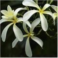 【ラスト1鉢】常緑オブツサ種の矮性プルメリア 'Dwarf Singapore Light Yellow' 3.5号接木苗/香りの良い美花品種