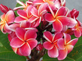 【1鉢限定】咲かせやすく美しい、人気の赤花系プルメリア 'Gina Red'  苗木・ワンサイズ上の5号サイズ