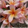 【特別SALE! 通常価格の50% OFF】鉢植えプルメリア 'Coral Cream' 苗木(越冬株・4号スリット鉢)
