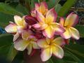 【1鉢限定】鉢植えプルメリア 'P6'  接木苗(越冬株・4号鉢)