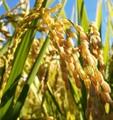 コシヒカリ 白米5kg(無農薬天日干自然乾燥)