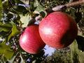 信州りんご シナノスイート 5kg 大きさおまかせ