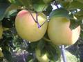 信州りんご ぐんま名月 5kg