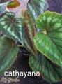 B.cathayana.   カタヤーナ