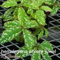 hemsleyana-silvery-juwel  ヘムスレヤナ シルバリージュエル