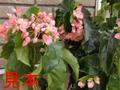木立性ベゴニア ミセスハシモト(ピンクレディー)7号鉢