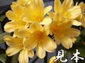 黄色君子蘭(ハイブリッドクリビア)7号鉢