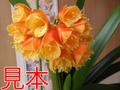 君子蘭(カウレッセンスハイブリダ)8号鉢