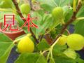 イチジク(コナドリア)(3年生苗)