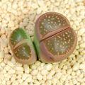 C109 olivacea オリーブ玉 2H