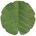 天然敷葉G2 緑 蕗型